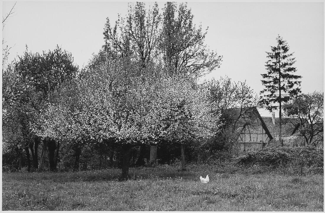 Arbre en fleurs et poule blanche à l'arrière d'une maison