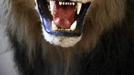 Lion empaillé. Collection du National Museum of House and Culture, Dar es-Salaam, Tanzanie