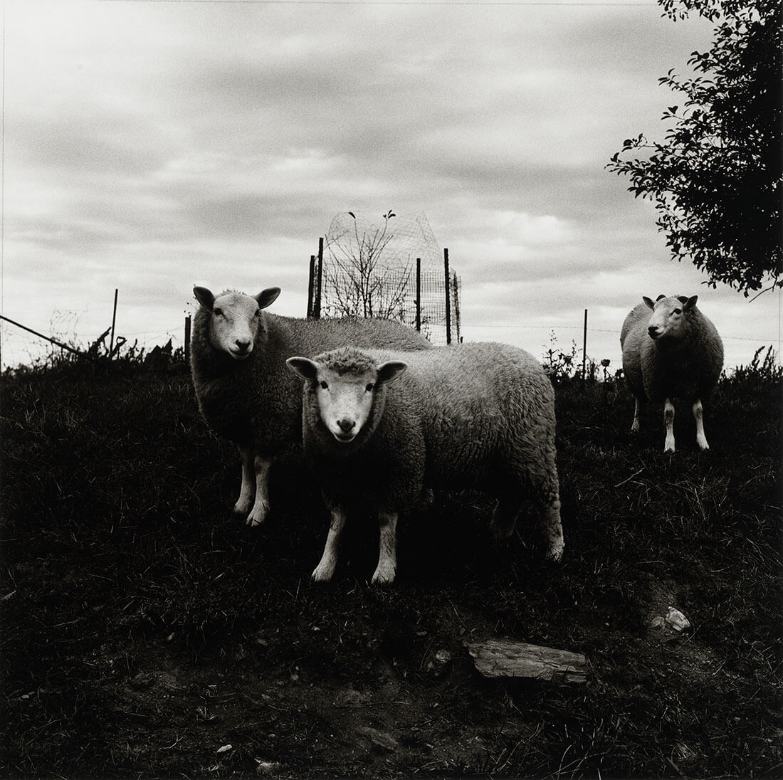 Sheep, Pennsylvania