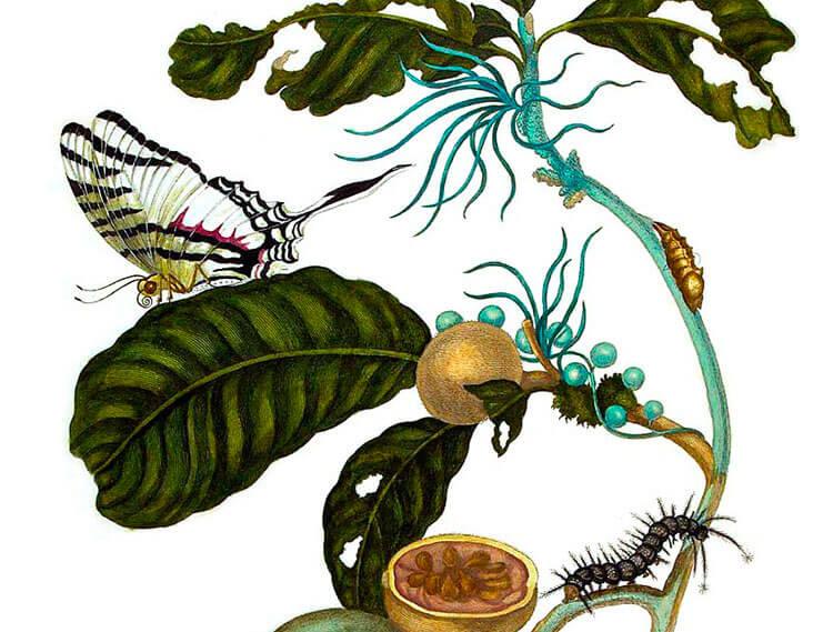 Duroia eriopila, Métamorphose des insectes du Suriname