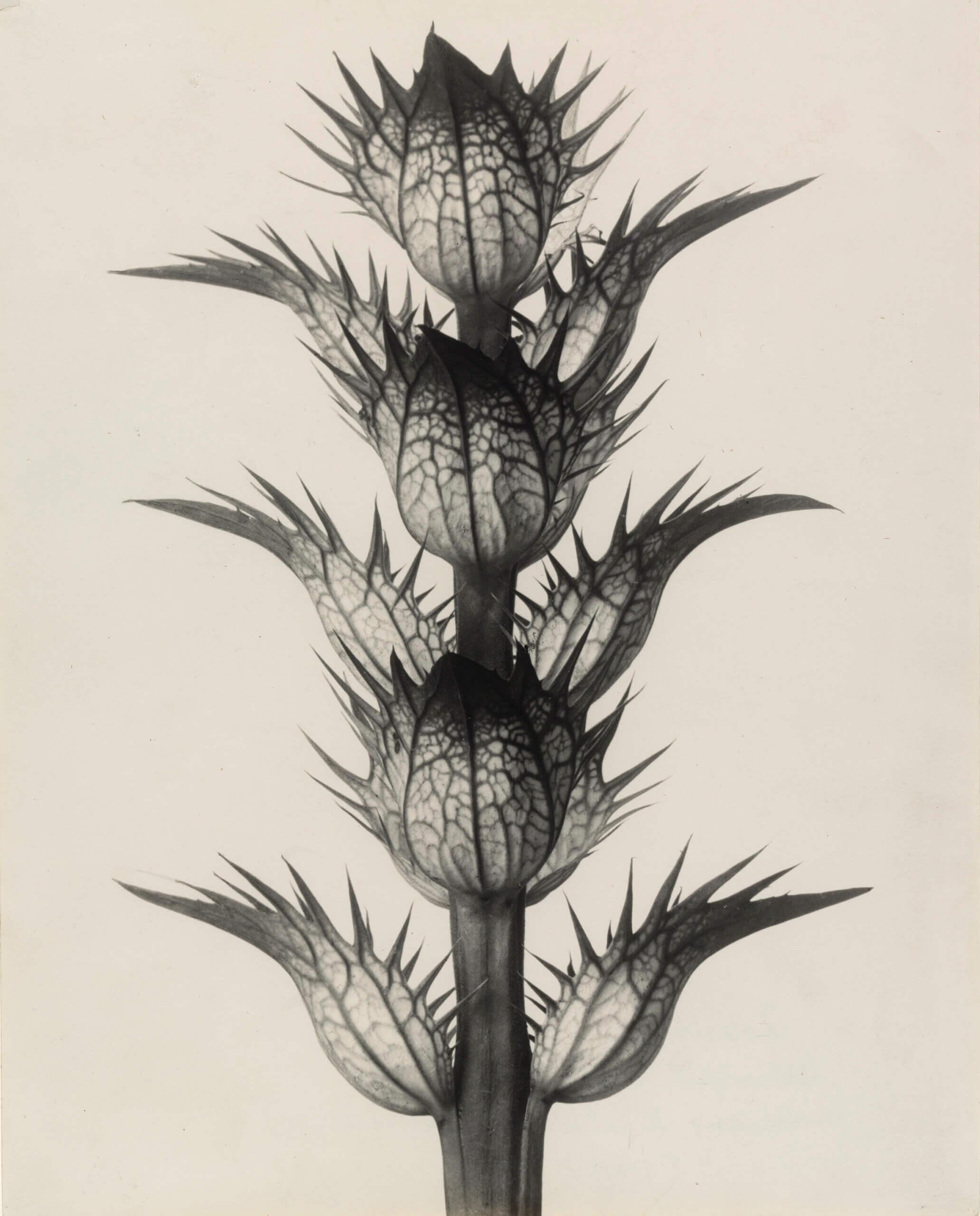 Acanthe à feuilles molles. Bractéoles aux fleurs enlevées, grossies 4 fois